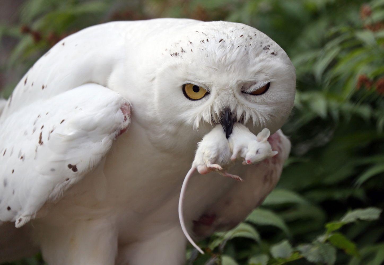 Полярная сова:  - Детям несу!