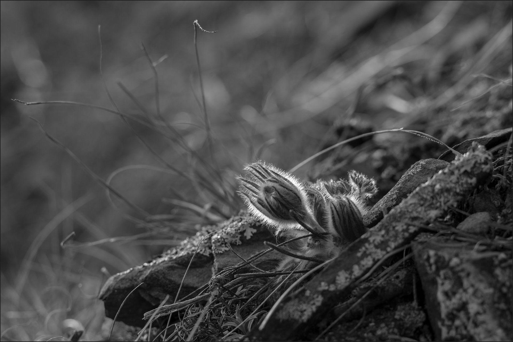Сон - трава апрель чб