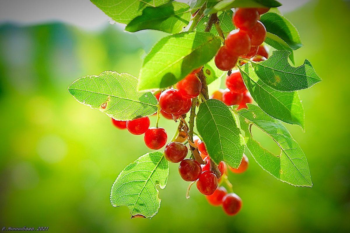 Черёмуха красная природа лето растения.черёмуха