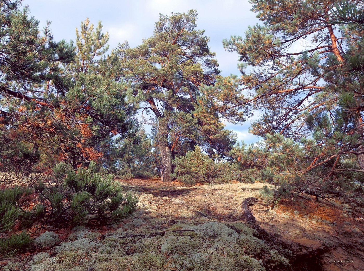 Сосна. сосны.лес.Carnikava-Latvija