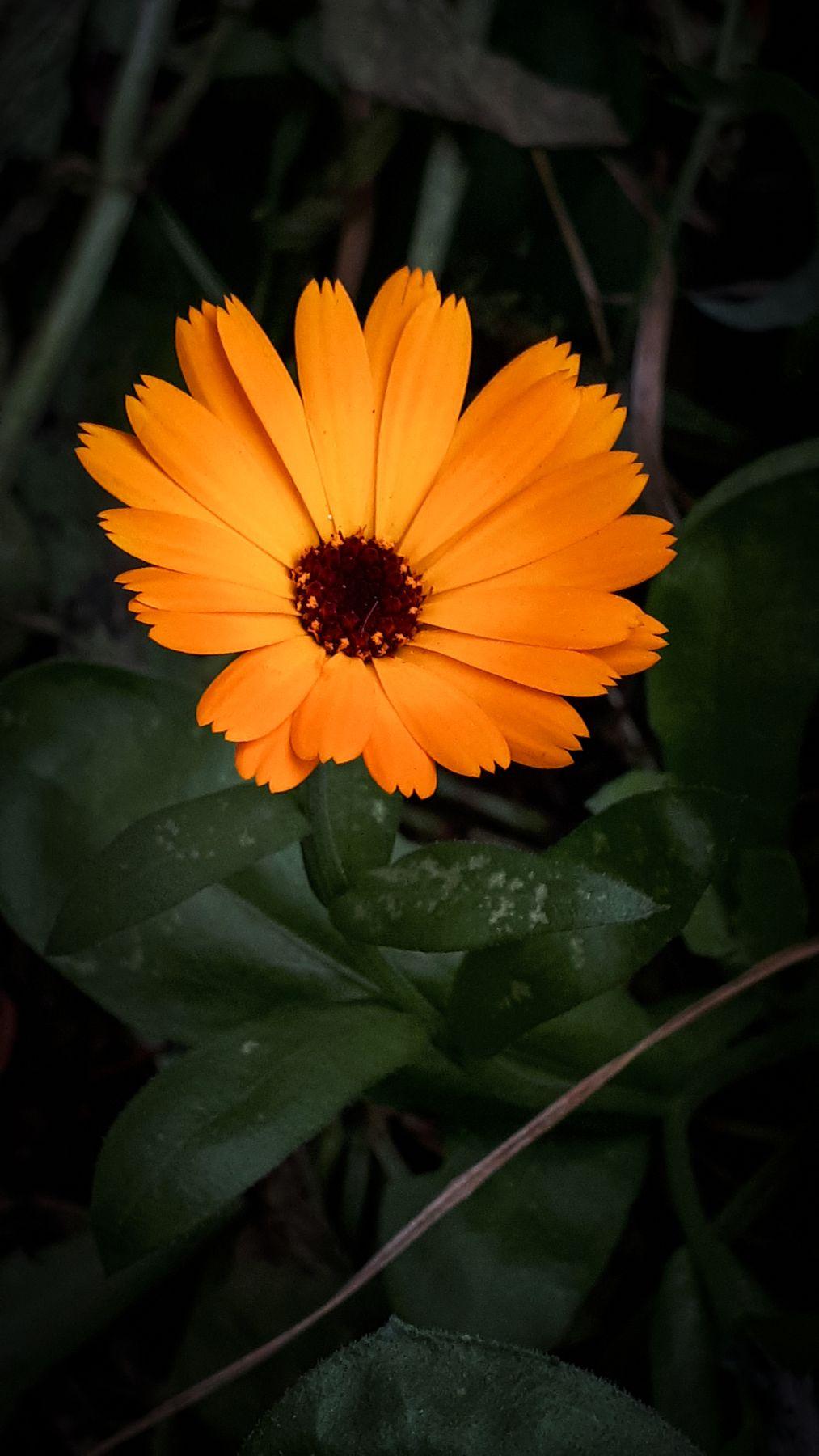 *** цветок лепестки календула