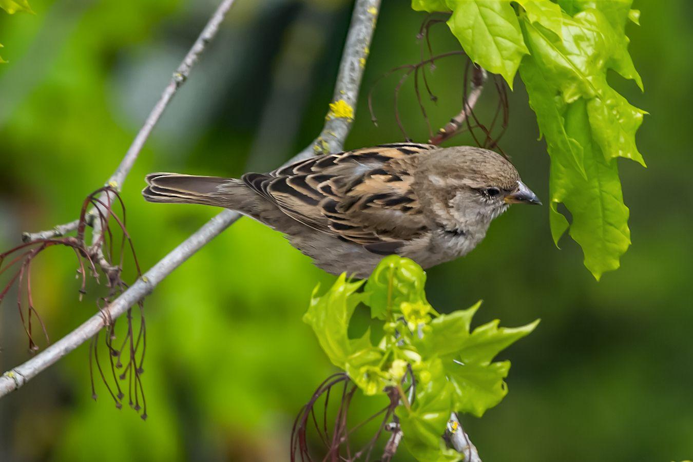 Воробей. Природа птица воробей