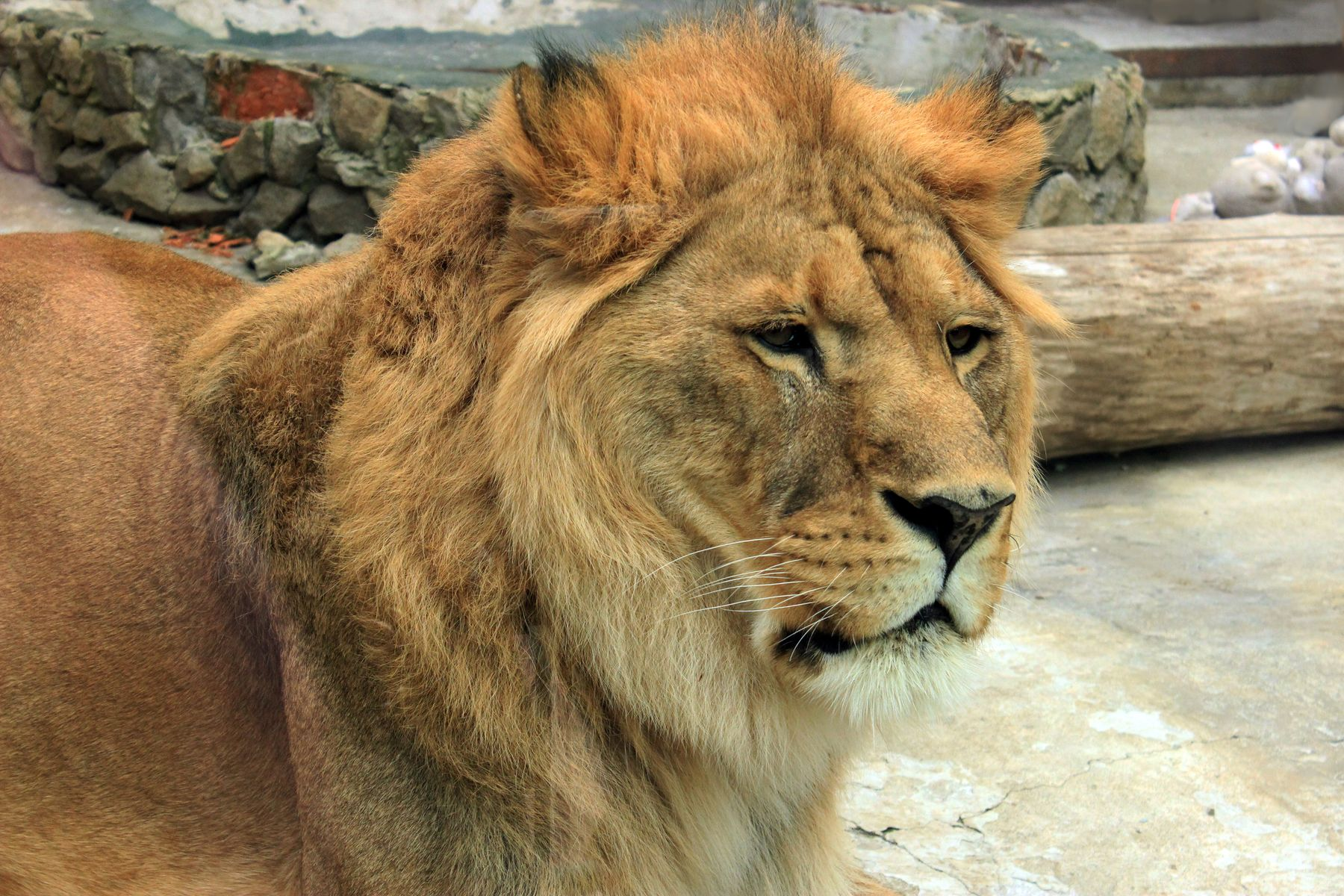 В зоопарке Екатеринбурга.. Звери лев