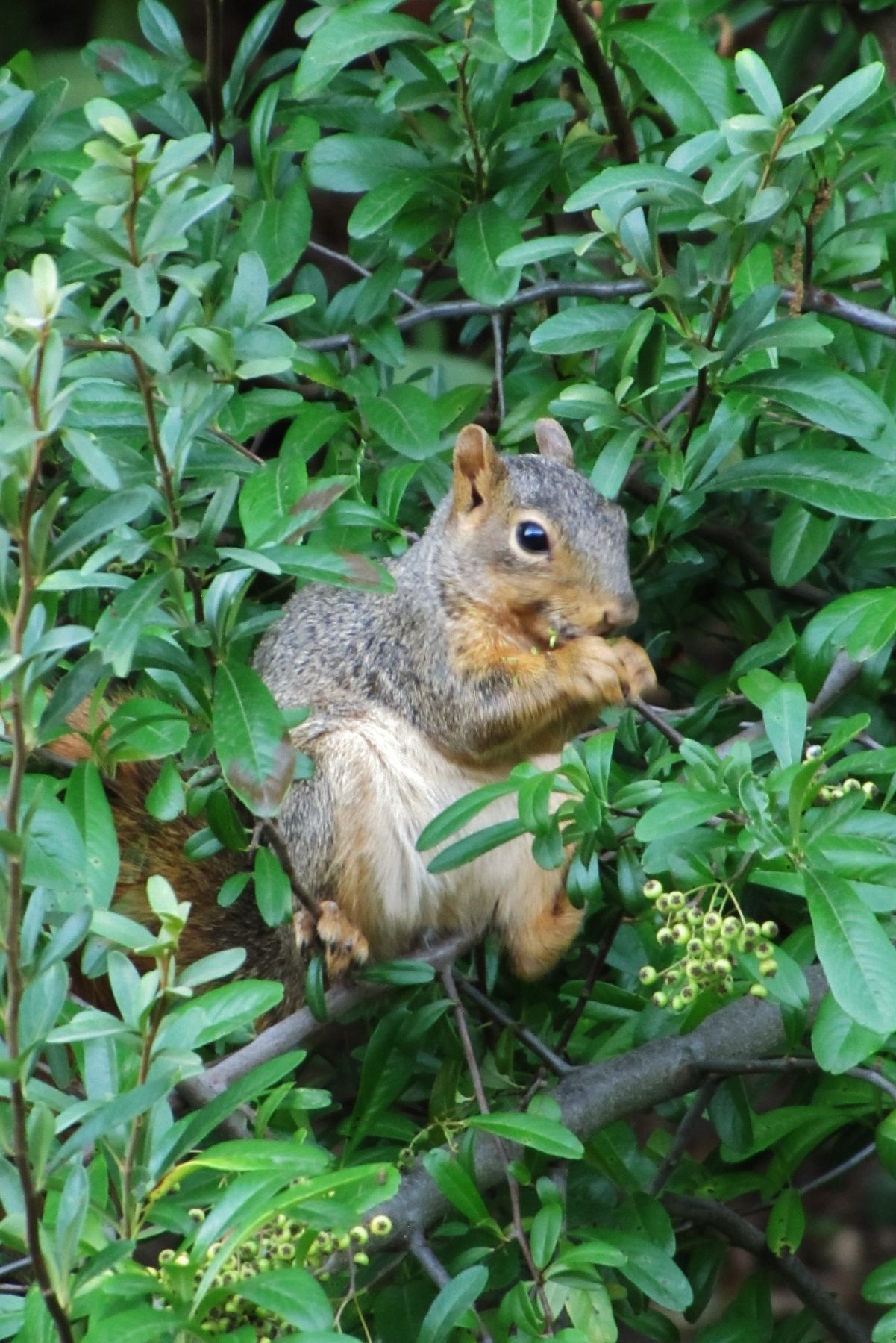Красная белка красная белка животное грызун american red squirrel tamiasciurus hudsonicus animal