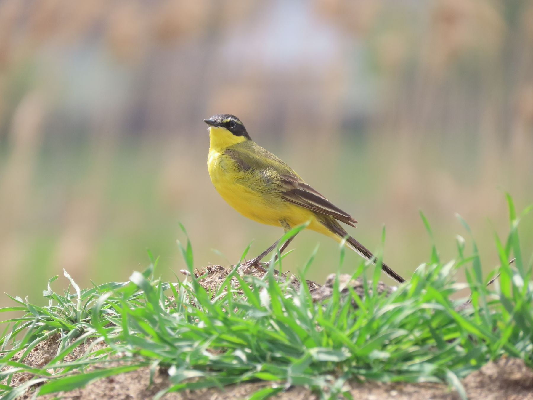 Жёлтая трясогузка, или плиска (лат. Motacilla flava) птицы трясогузка