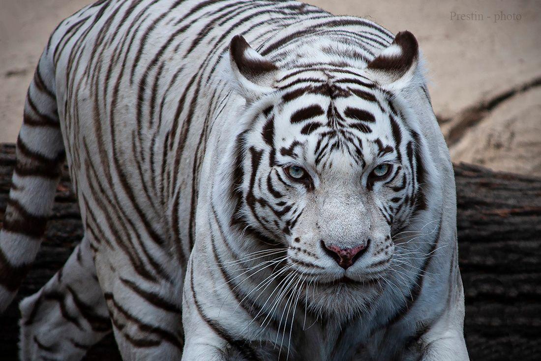 """Кто сказал - """"котик""""?... тигр шерсть кошка усы лапы хвост уши"""