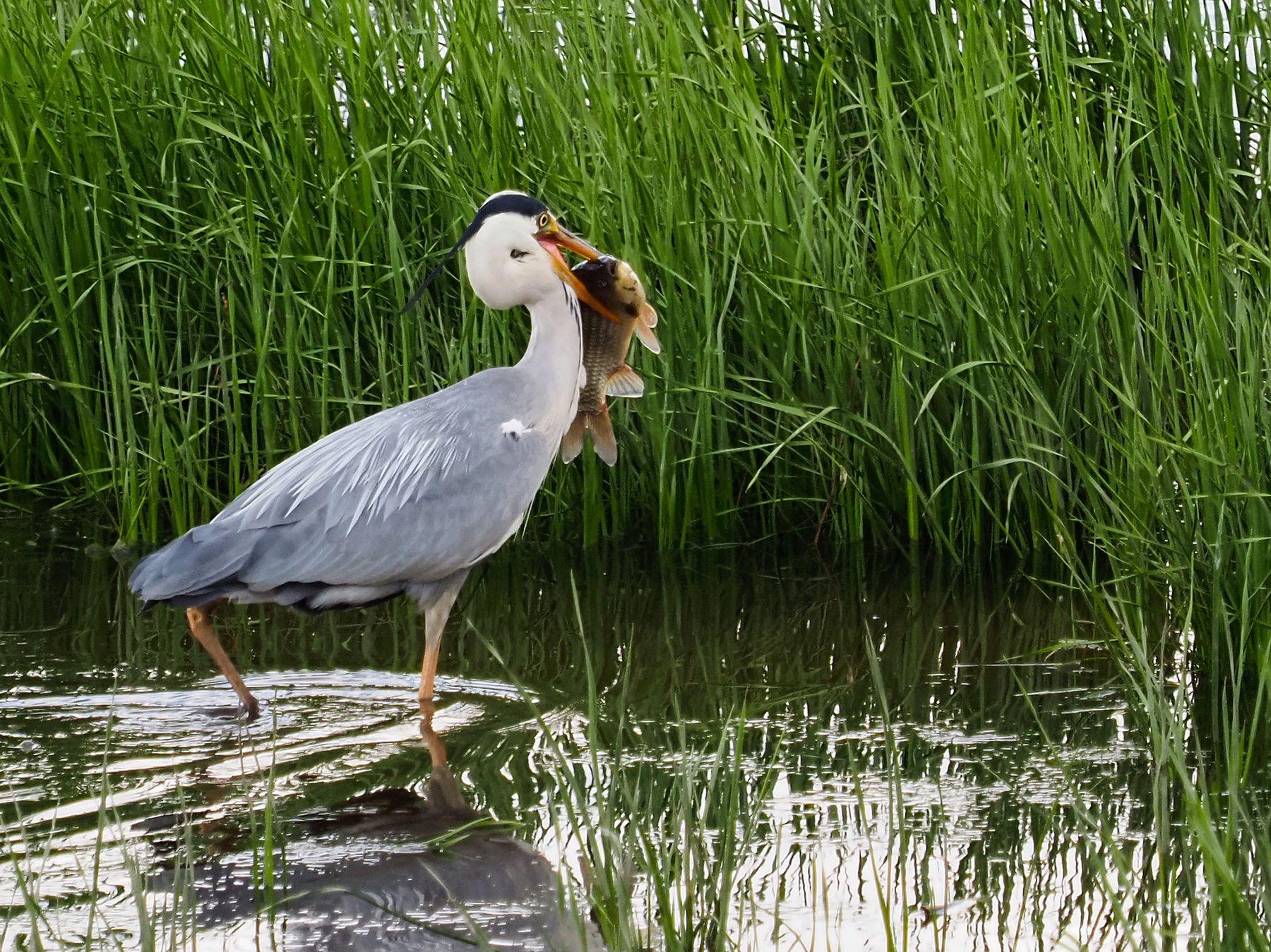 Рыбачка цапля Лето река птицы