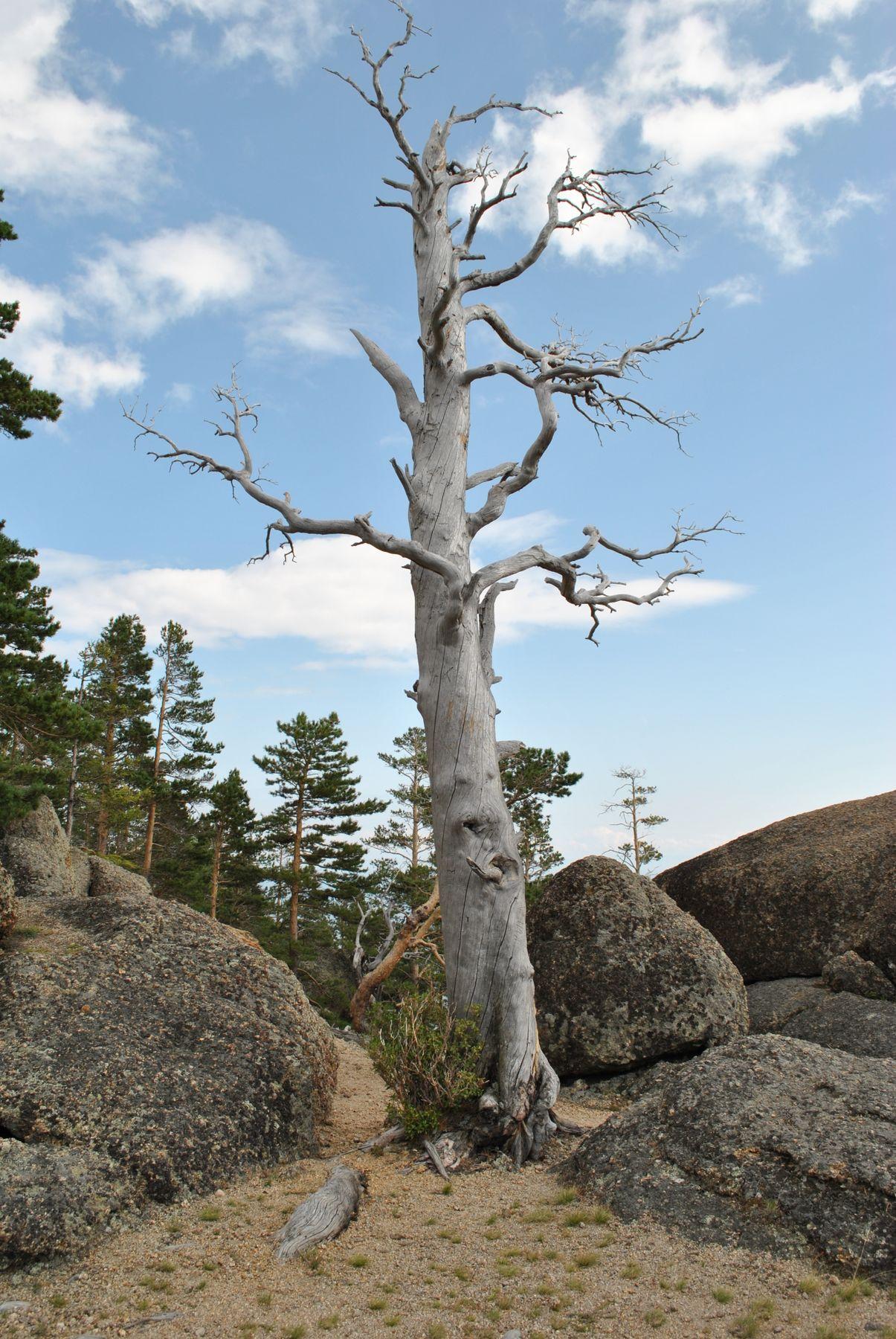 Несломленное Байкал сосна сухое дерево
