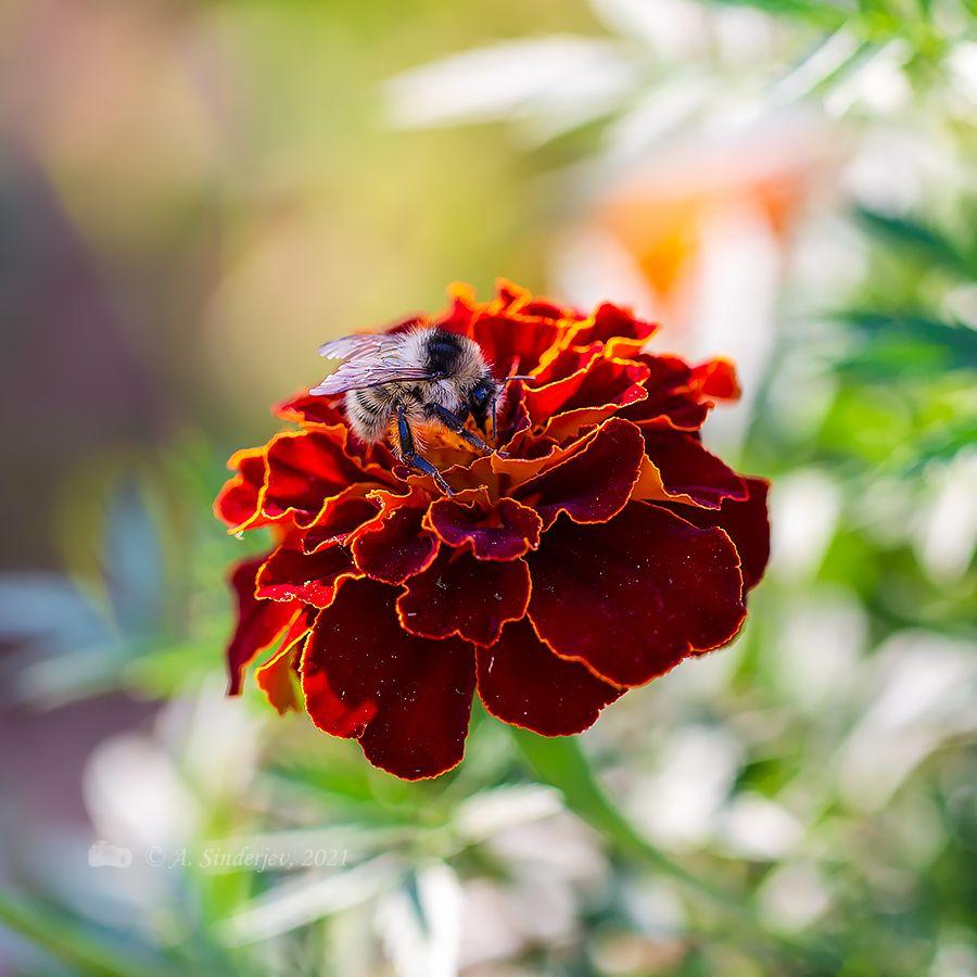 Шмель на бархотке насекомое шмель макро лето
