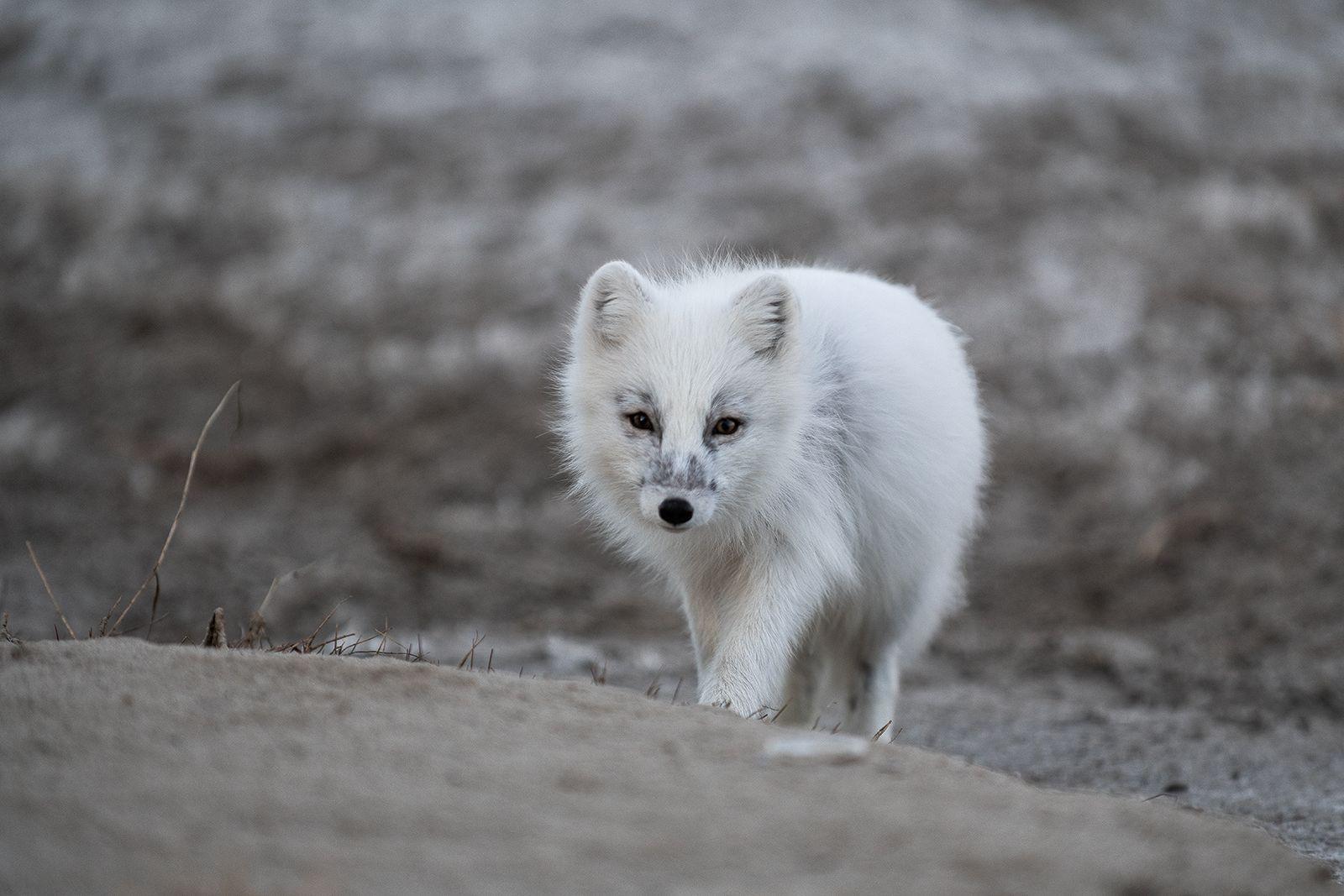 Полярная лисица полярным днём… Да, полярный день уже наступил) arctic fox песец Ямал дикие животные север
