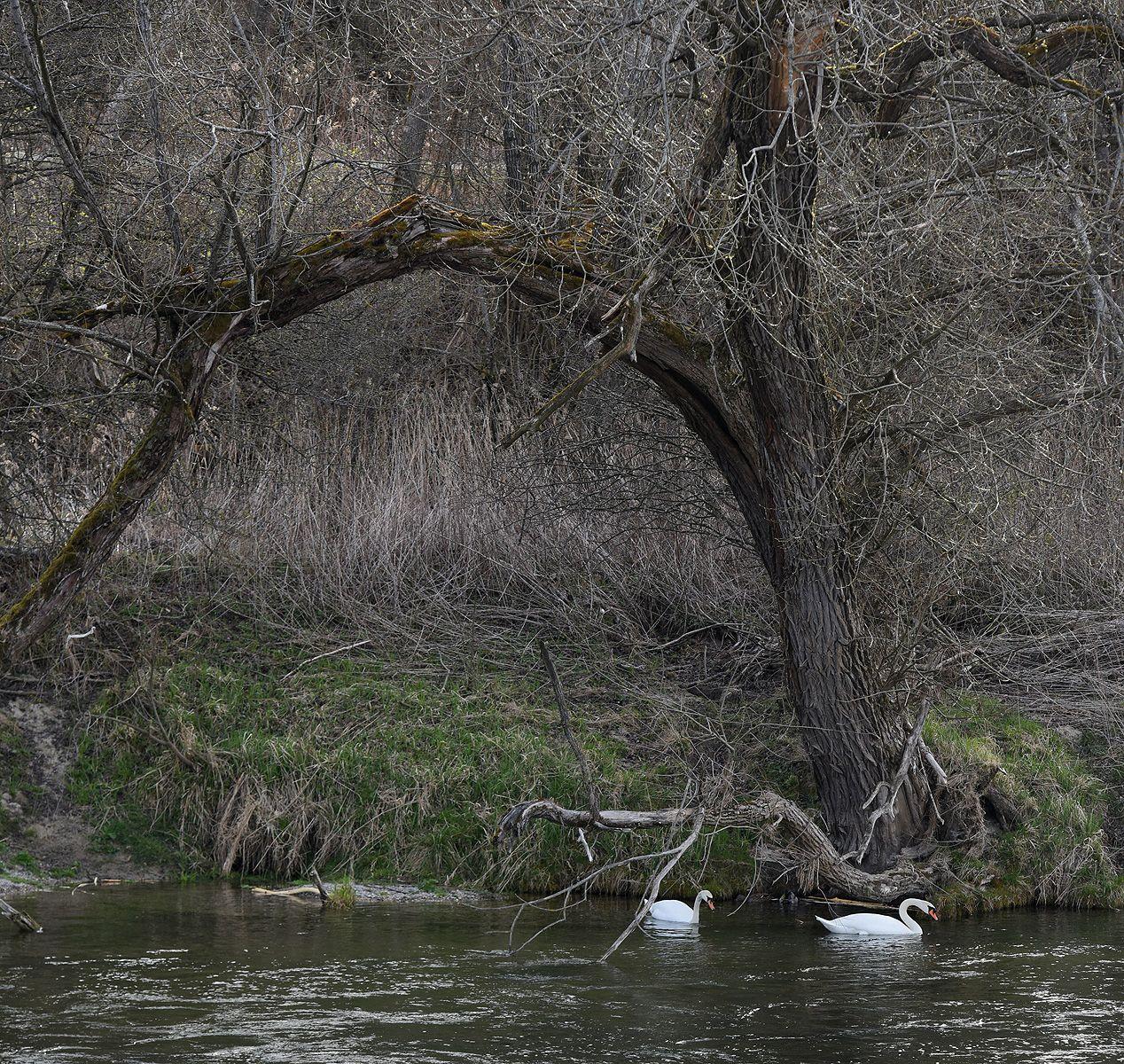 Жизнь на воде река лебеди