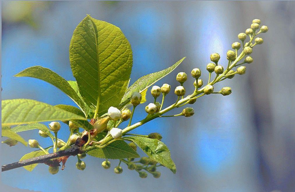 Пора цветения природа весна.лес растения черёмуха цветы