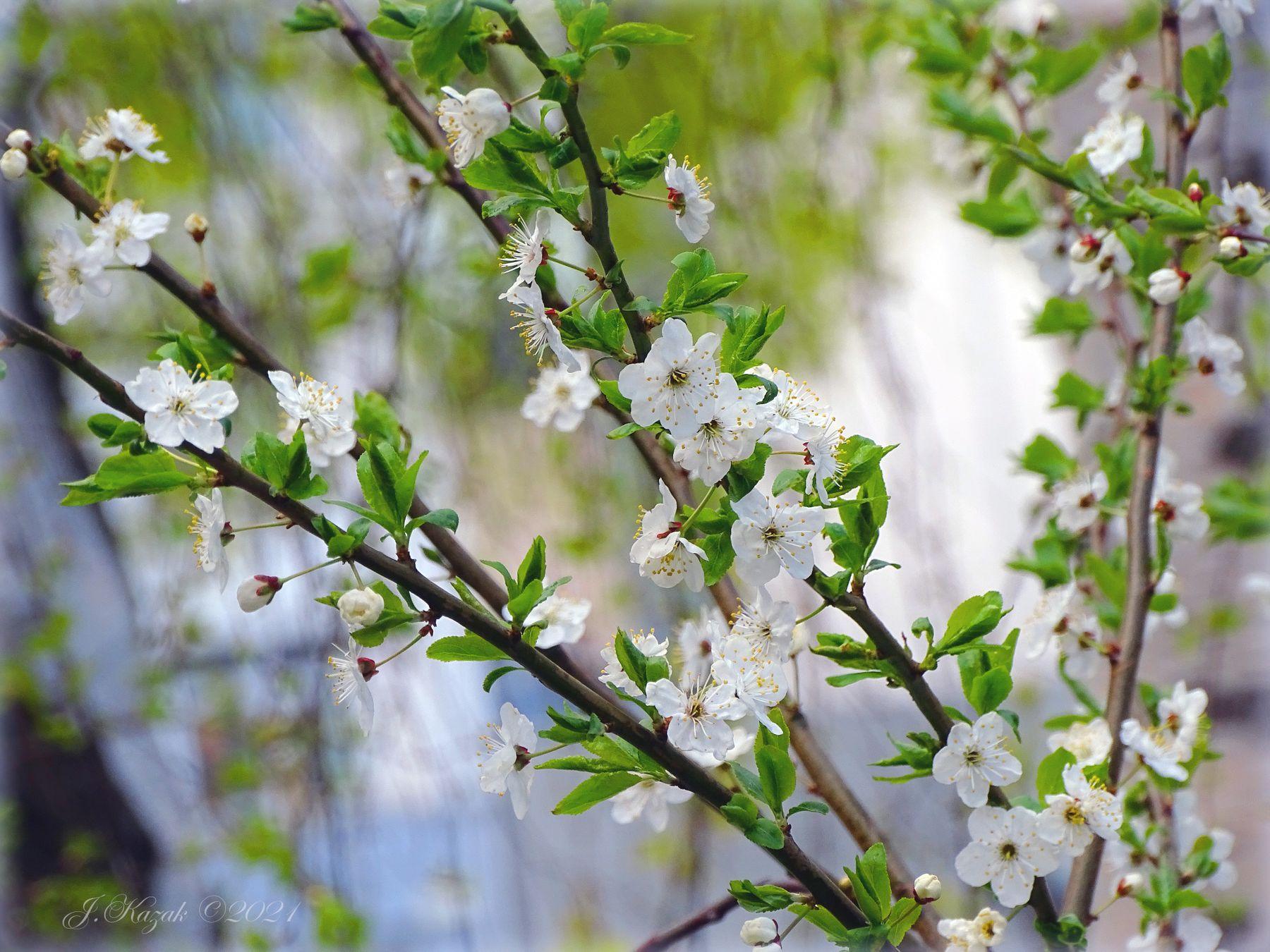 Цветет алыча. природа флора цветы весна