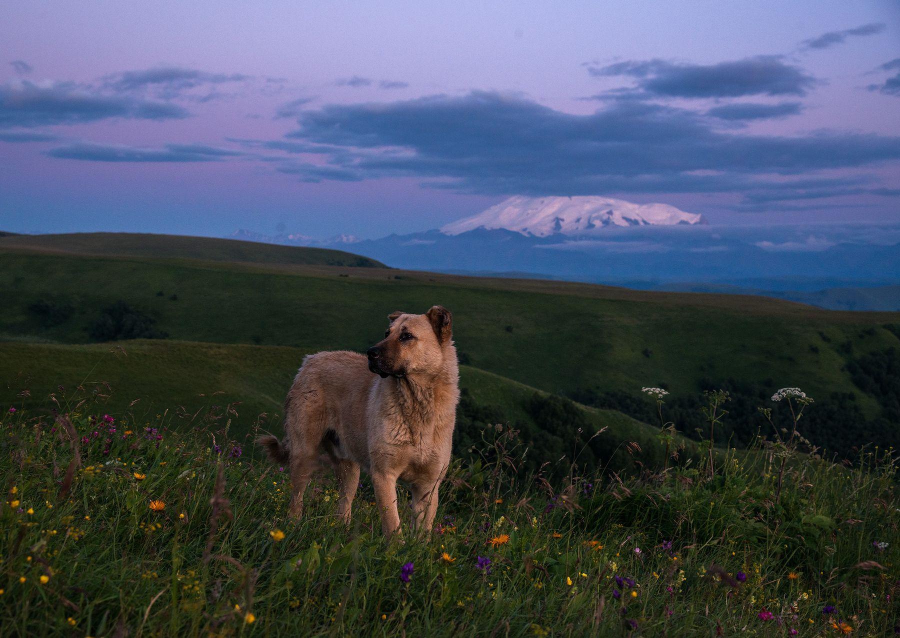 Пёс с перевала Гумбаши