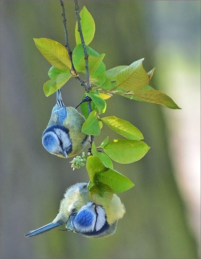 Ветка с синицами :) синицы птицы птица Польша листы ветка весна Бытом
