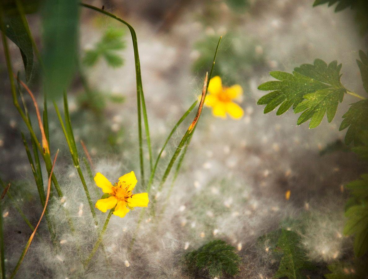 снег июня листья цветы пух июнь