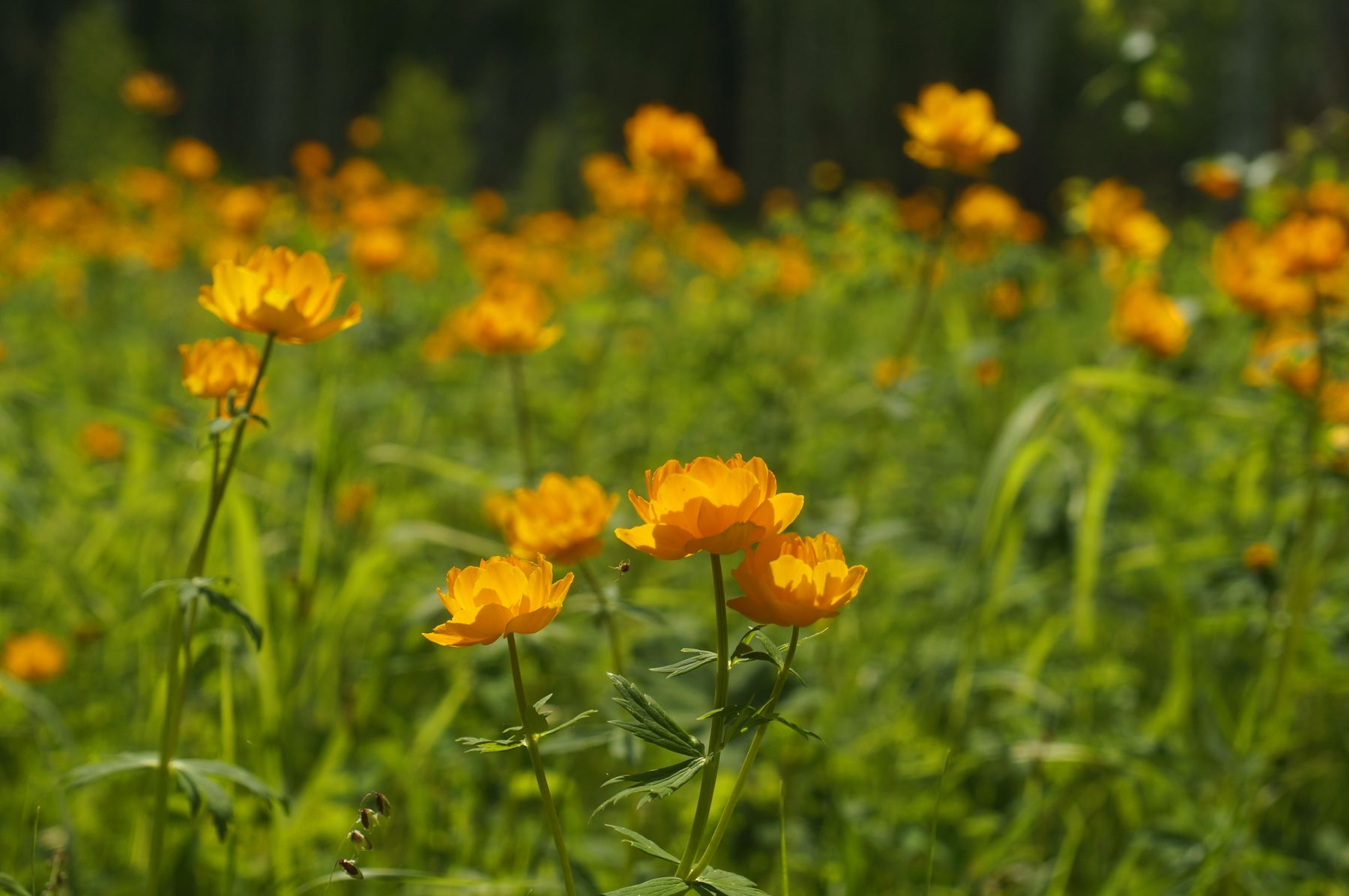Жарки жарки лес лето цветы