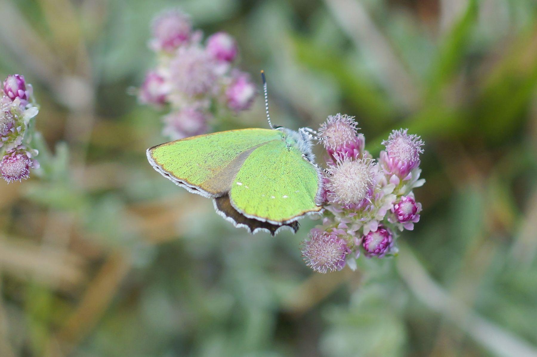 Малинница обыкновенная бабочка малинница обыкновенная цветы лес весна