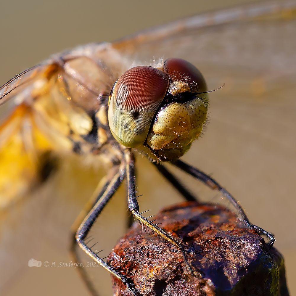 Жёлтая стрекоза макро насекомое стрекоза лето макро