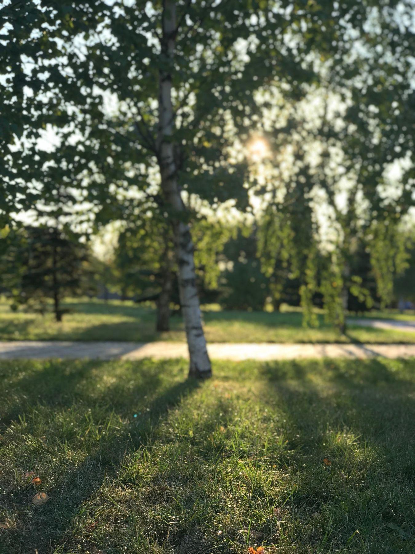 Березка и солнечный свет Солнце берёза дерево трава лето