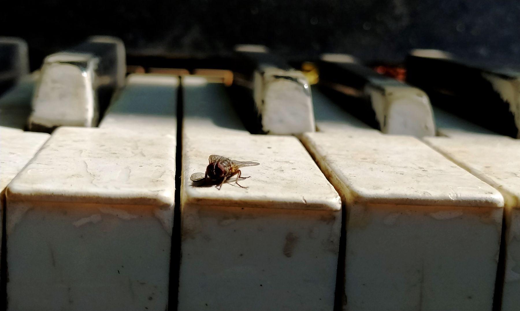Муха-пианист