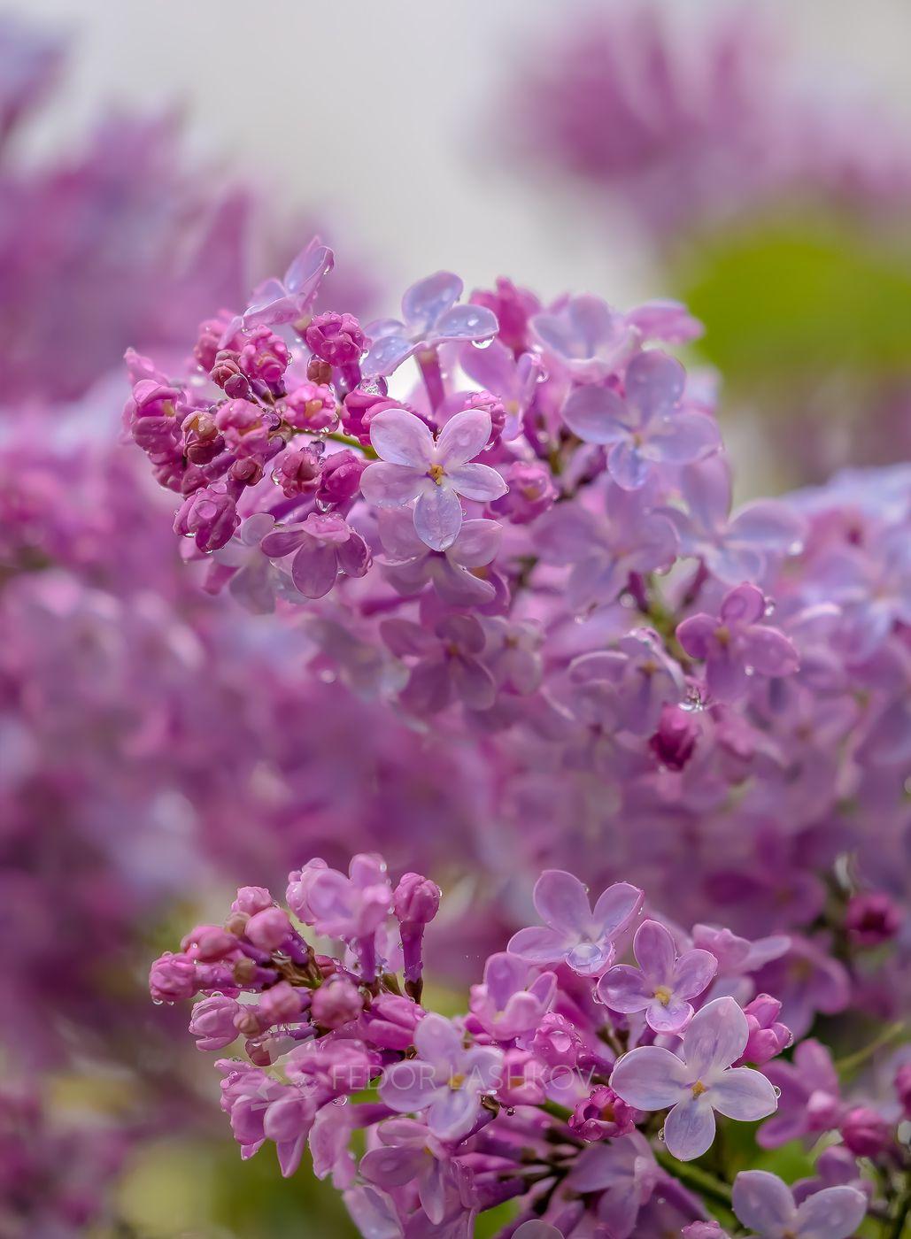 Запах сирени с дождём Ставропольский край Ставрополье весна сирень макро дождь капли в каплях сиреневое цветы цветение