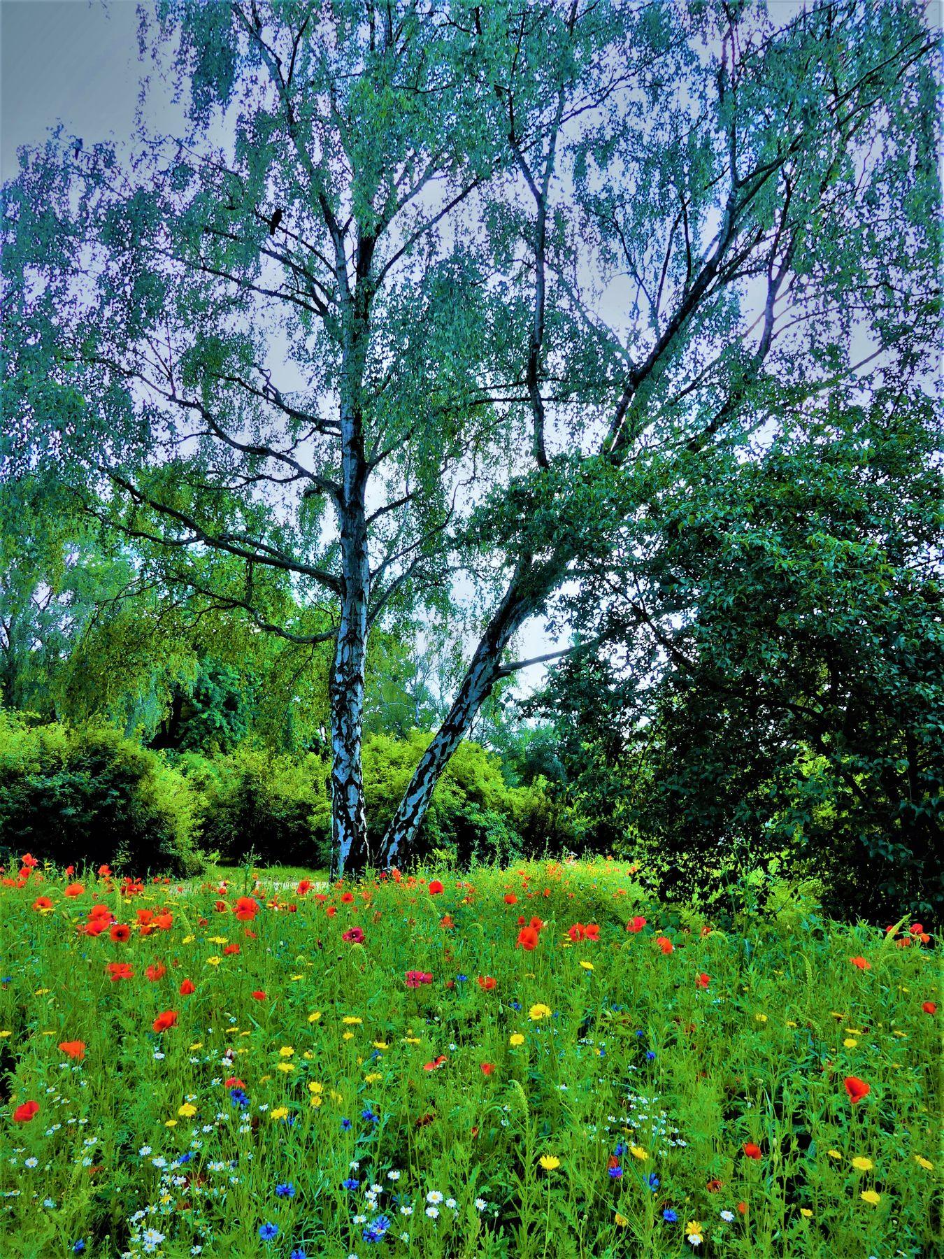 Чуть солнце пригрело откосы и стало в лесу потеплей, берёза зеленные косы развесила с тонких ветвей. природа поляна берёзы Бельгия