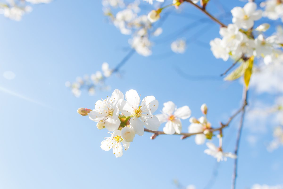 Яблоня в цвету яблоня весна солнце утро