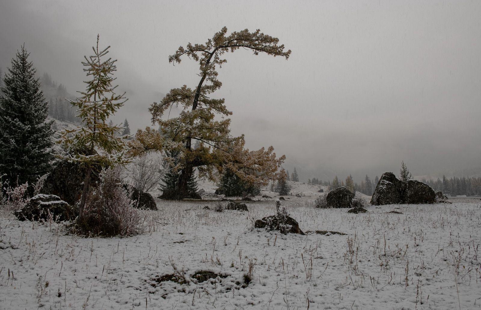 По первому снегу. Республика Алтай снегопад туман лиственница
