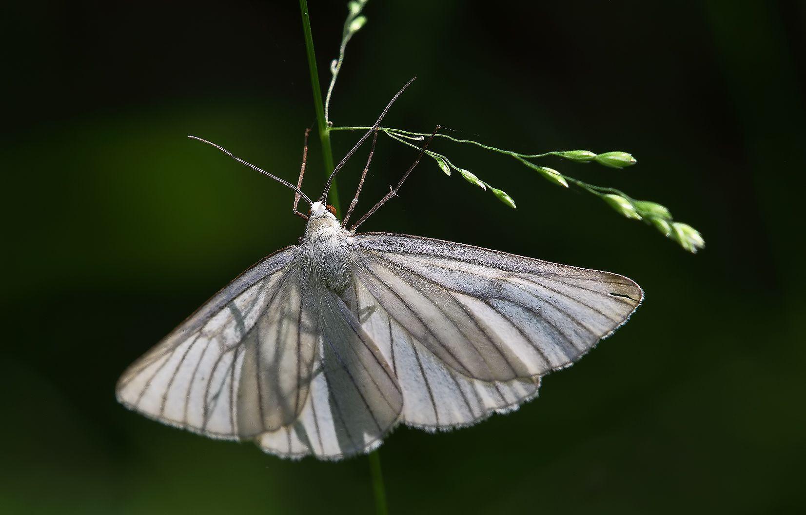 Siona lineata (Scopoli, 1763).  Пяденица Линейчатая лето трава бабочка