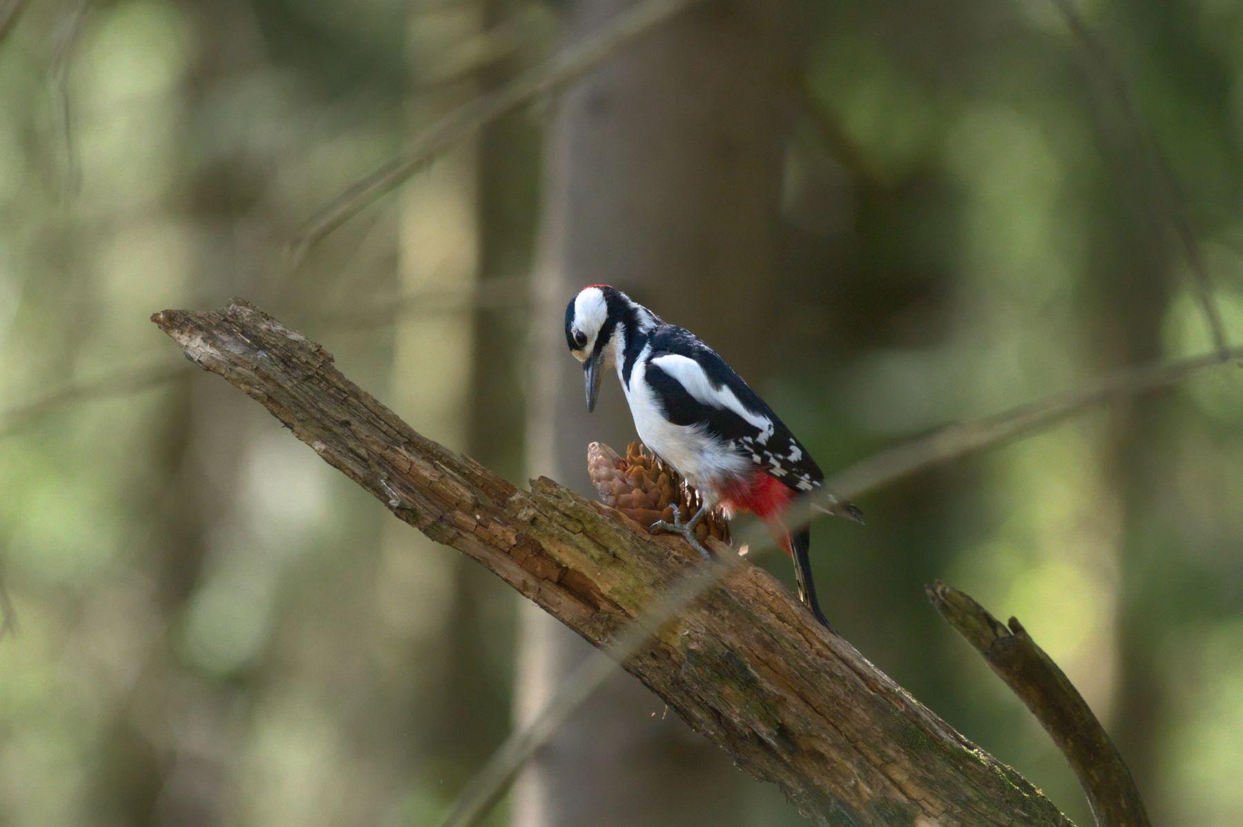 Кузница пёстрого дятла пёстрый дятел кузница дятла фотоохота птицы great spotted woodpecker Dendrocopus major
