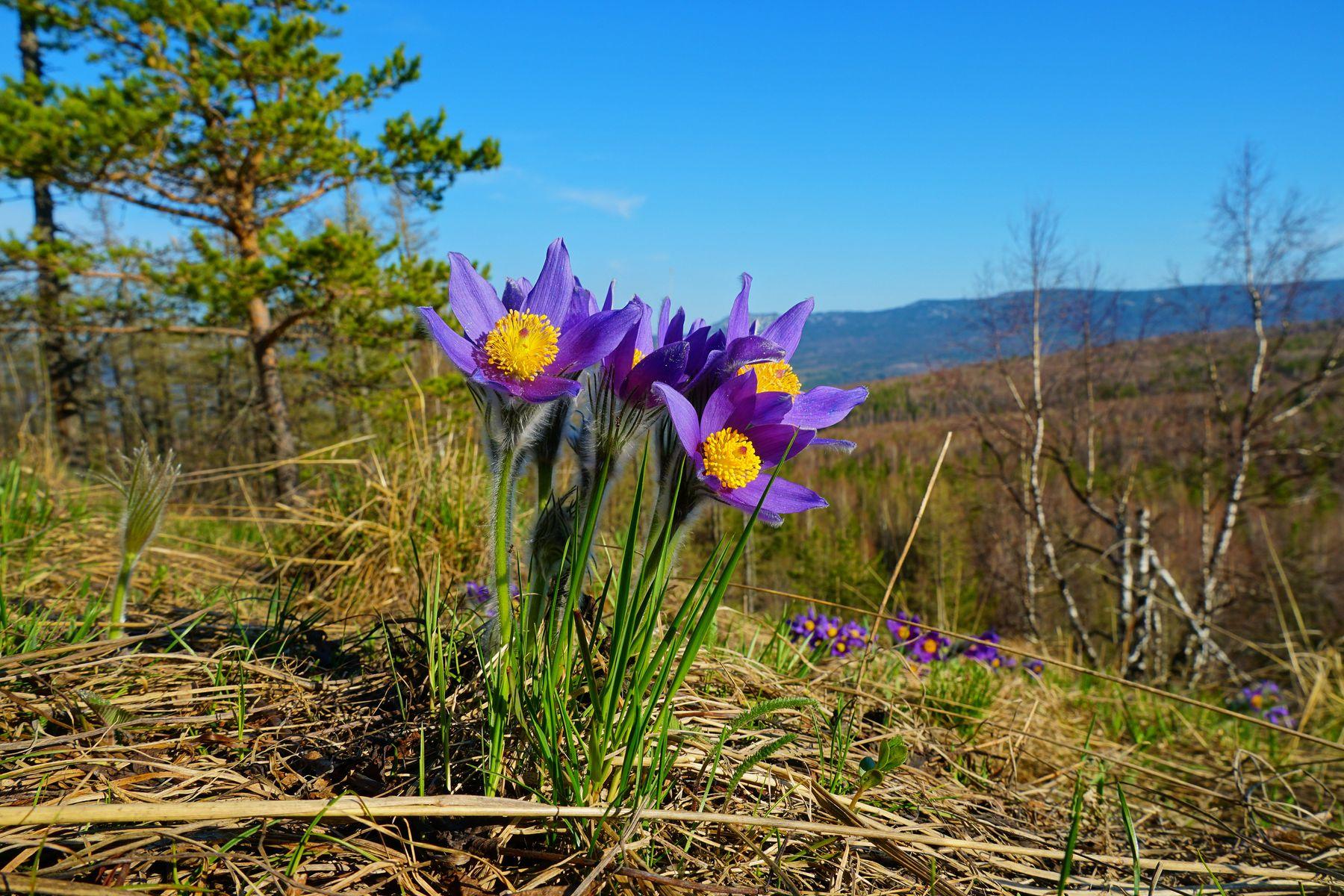 Сон-трава Сон-трава Весна Горы