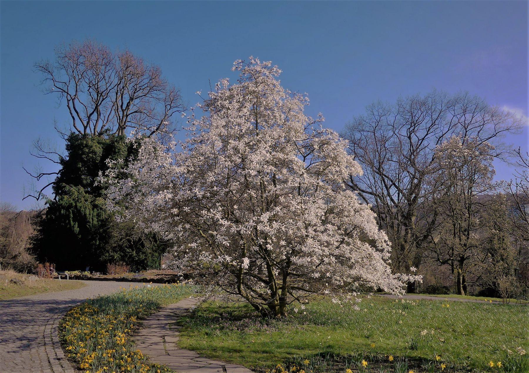 Цветут магнолии, витает запах сладкий средь запахов чарующей весны. Магнолия ботанический сад Вупперталь Германия