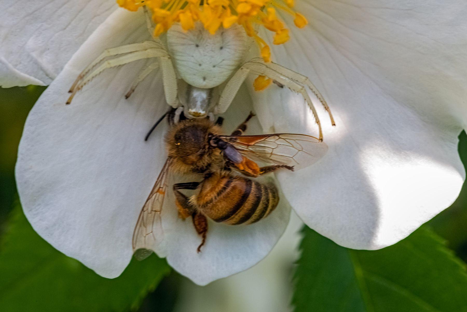 Противостояние Паук пчела