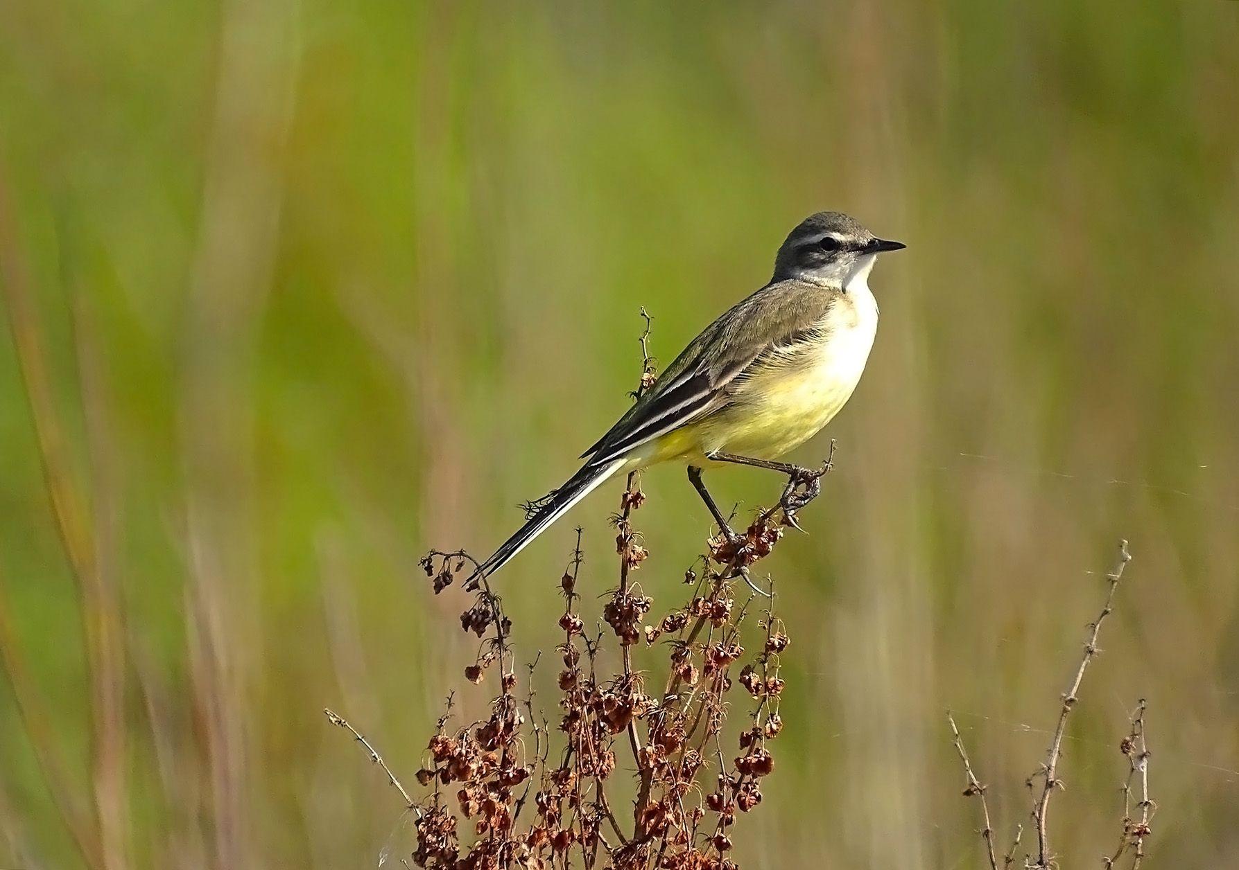 Желтая трясогузка Сибирь дикие птицы фотоохота