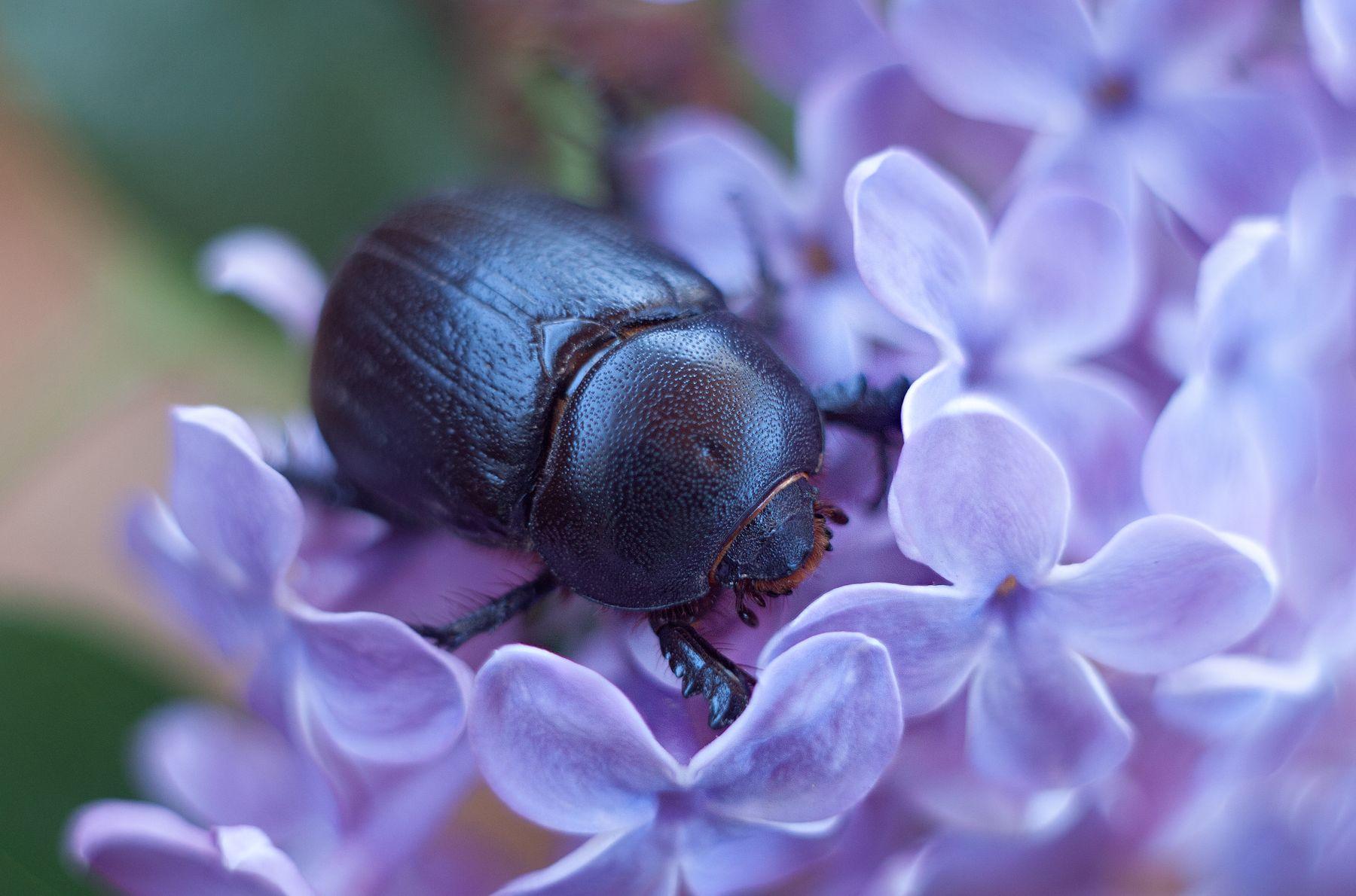 дупляк кукурузный макро насекомые жуки