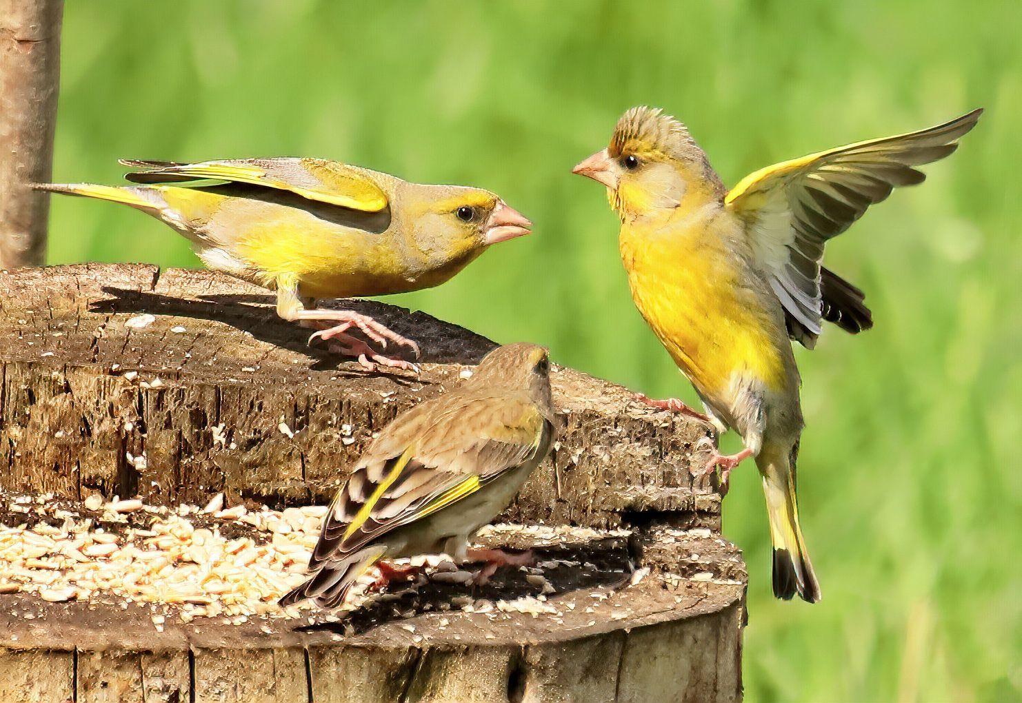 Забавные зеленушки зеленушки птицы