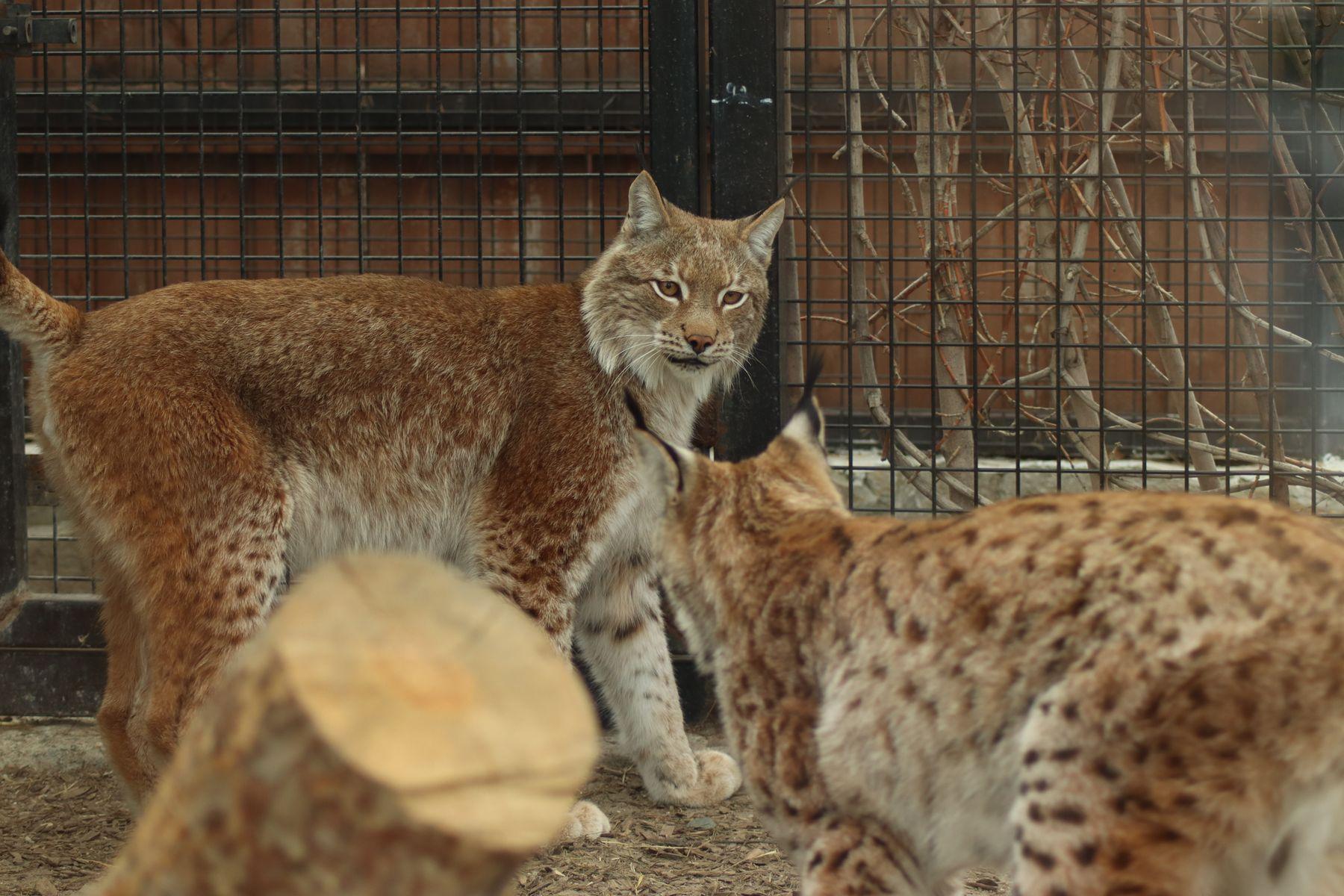 Челябинский зоопарк, кошки..