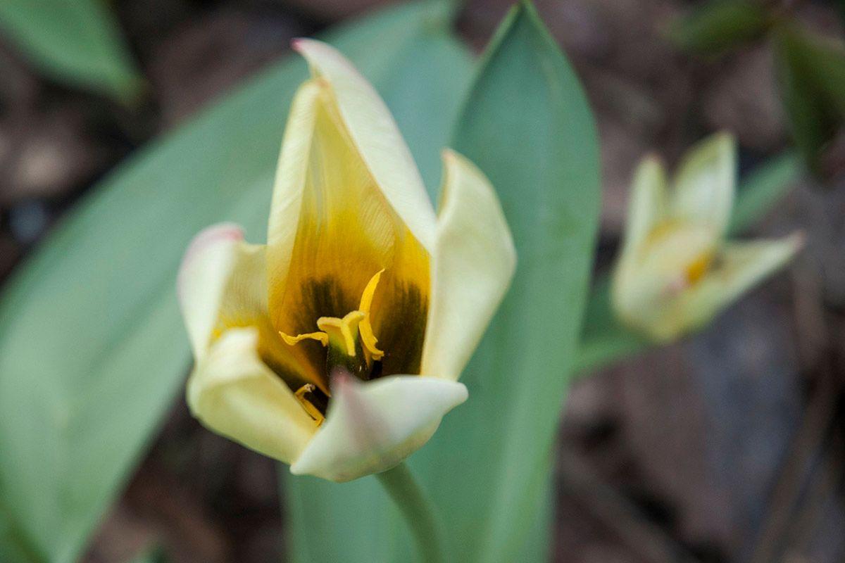 Тюльпан. весна тюльпан