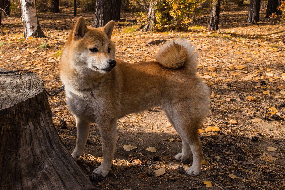 Сиба в осеннем лесу собаки сиба-ину лес осень Забайкалье Япония