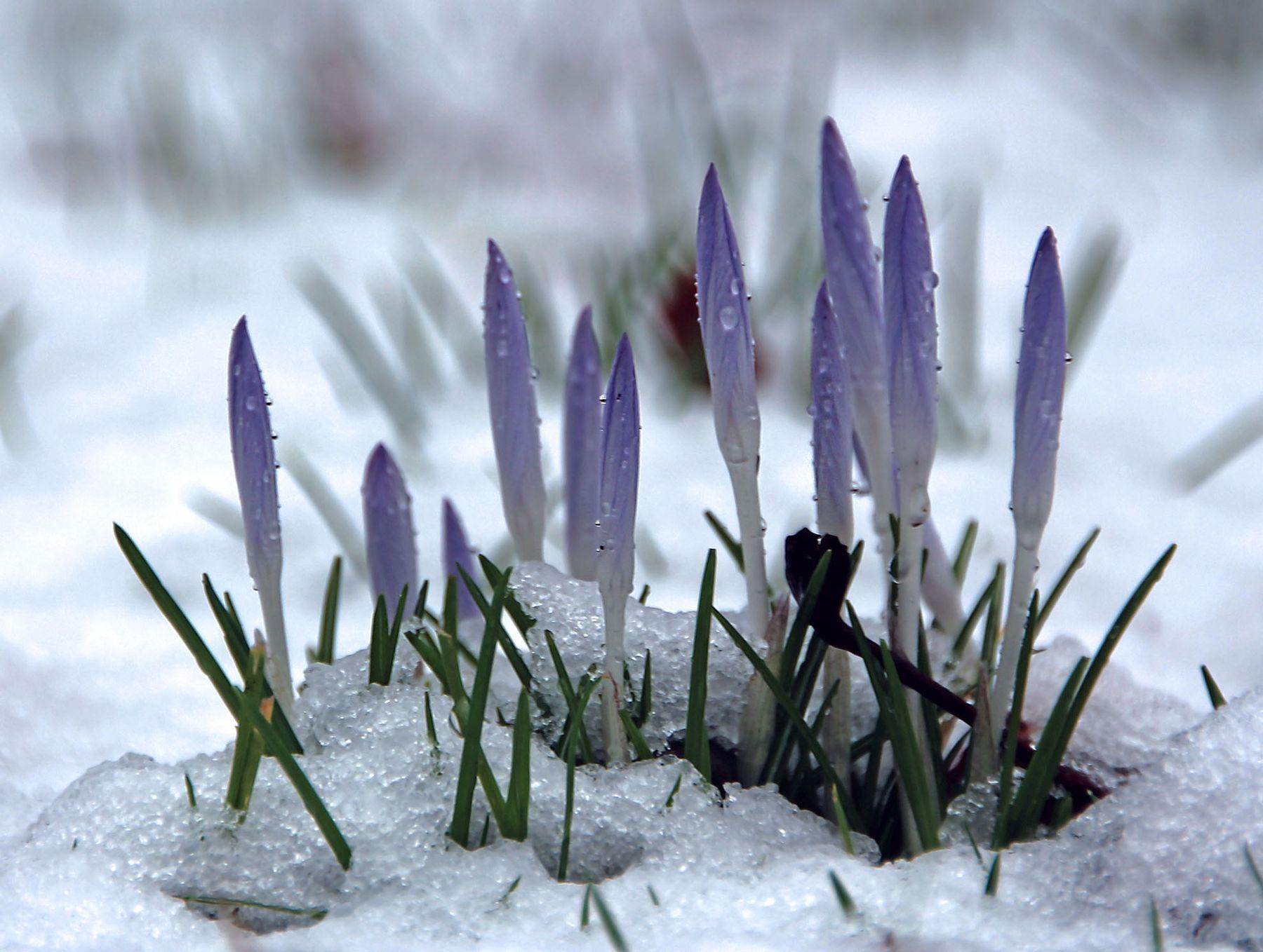 Нам холодно крокусы кёльн снег флора-парк