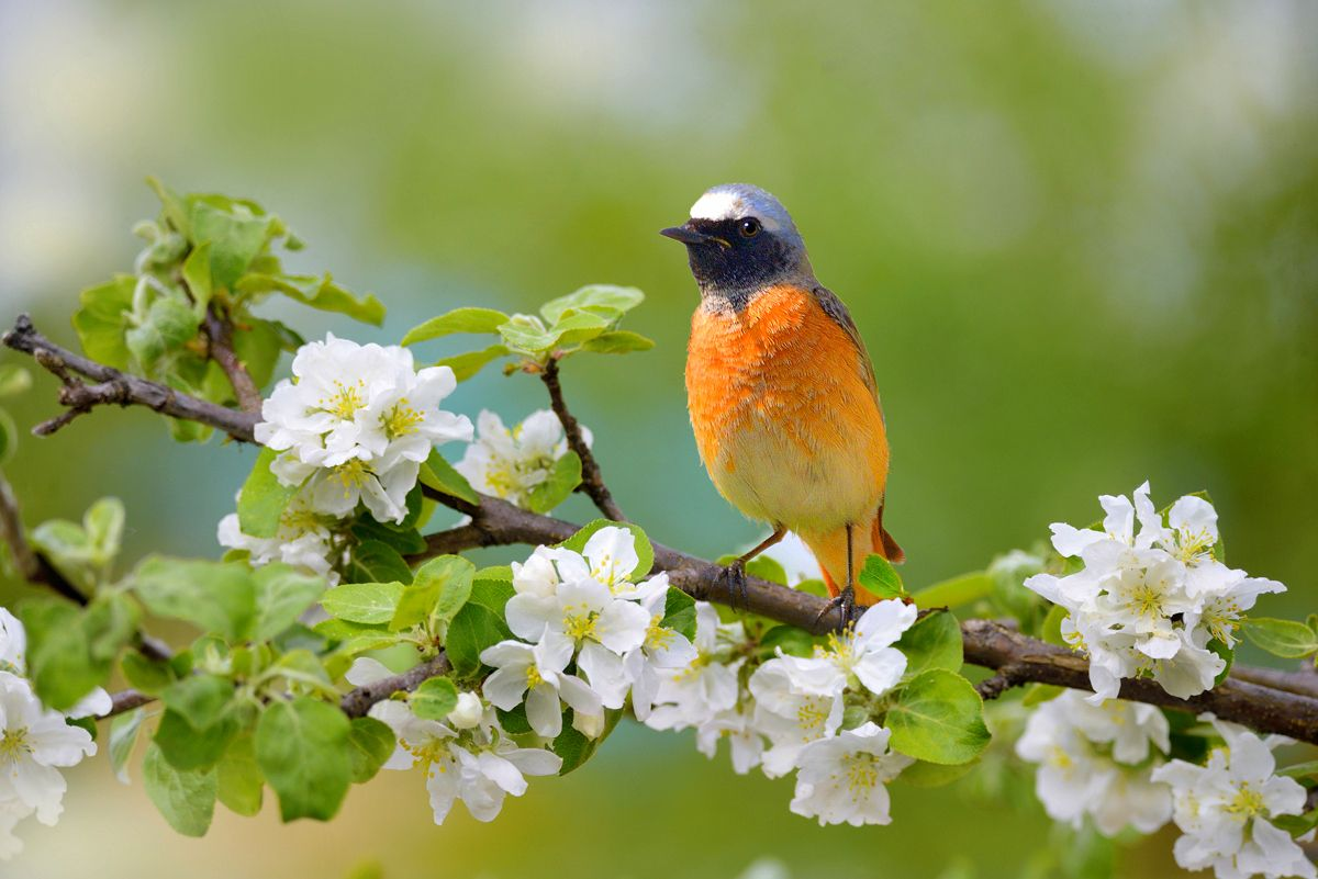 Весенние зарисовки природа птицы фотоохота горихвостка яблоня весна