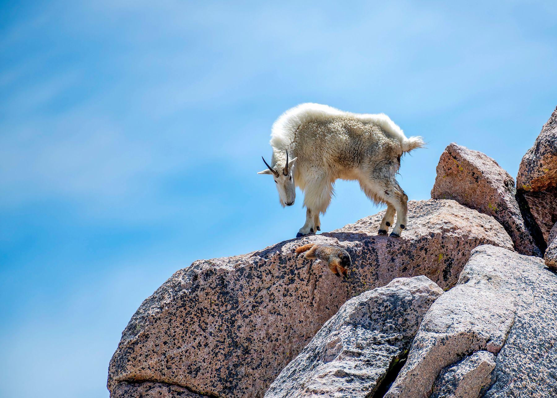 День Сурка у Горного Козла сурок горный козел Скалистуе горы Эванс