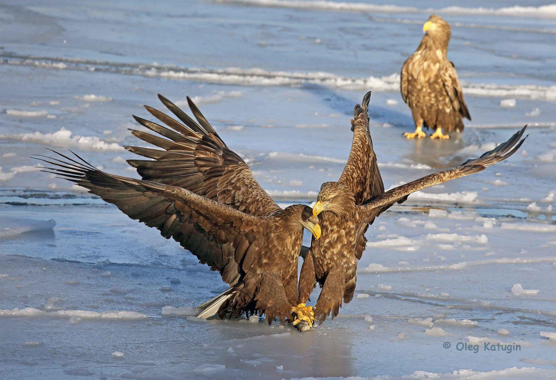 Поединок Орланы-белохвосты Владивосток