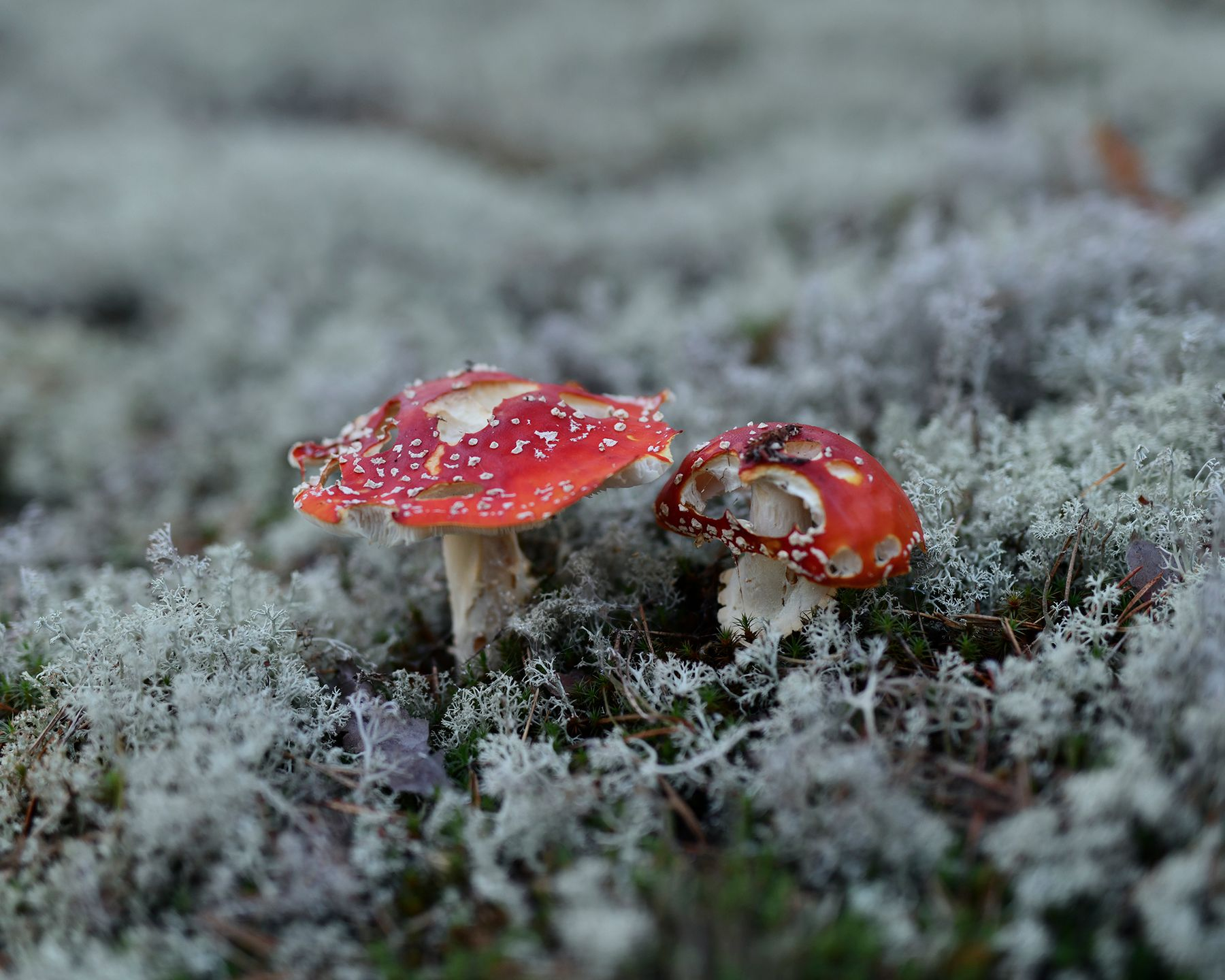 State of decay грибы мухомор ягель Карелия