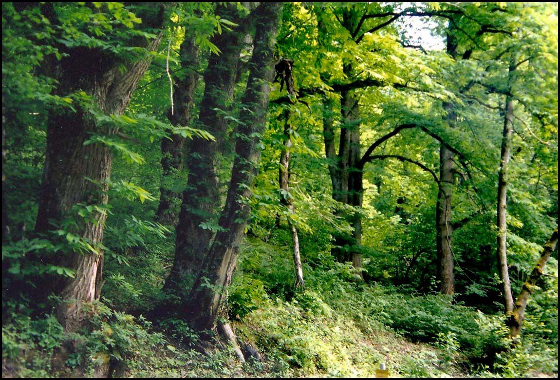 ***Сочи, колхидский лес