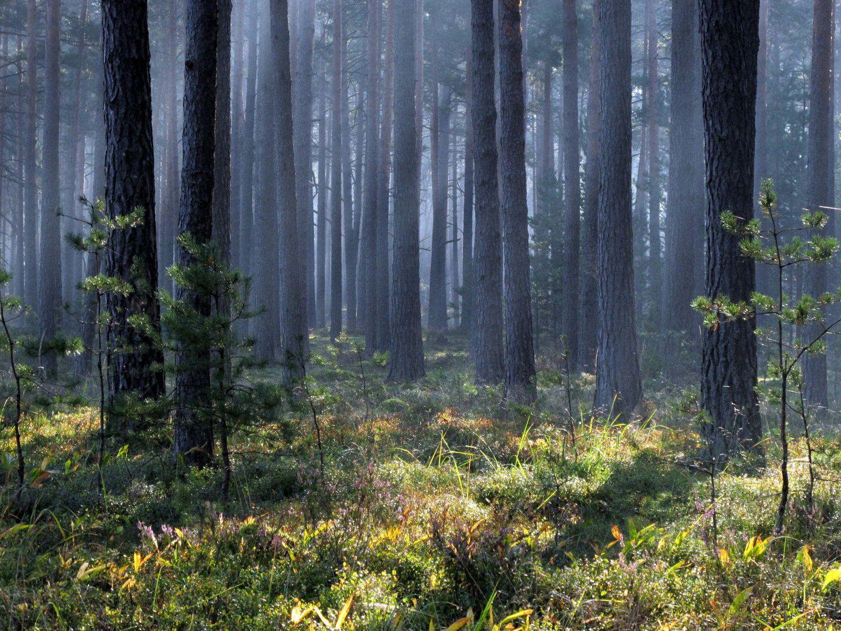 *** лес.утро.сосновый бор.10.09.2021