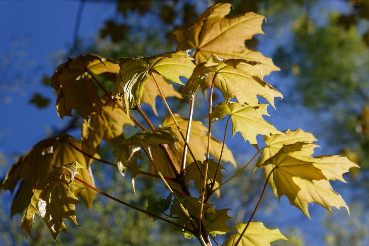 Кленовая ветка на солнце кленовый лист кленовая ветка весна солнце лес утро