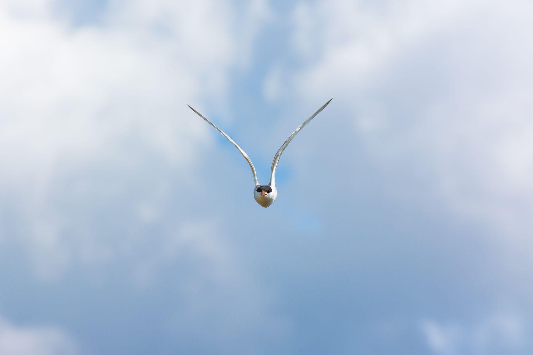На абордаж! Крачка птицы фотоохота сибирь
