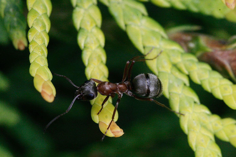 Попозирую и побегу муравей макро макроснимок